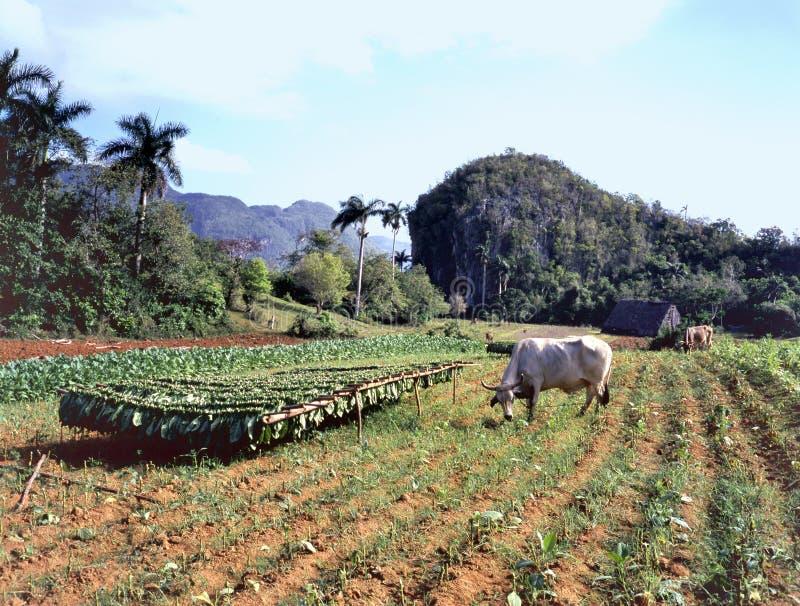 烟草田, Pinar del里约省,古巴 免版税库存图片