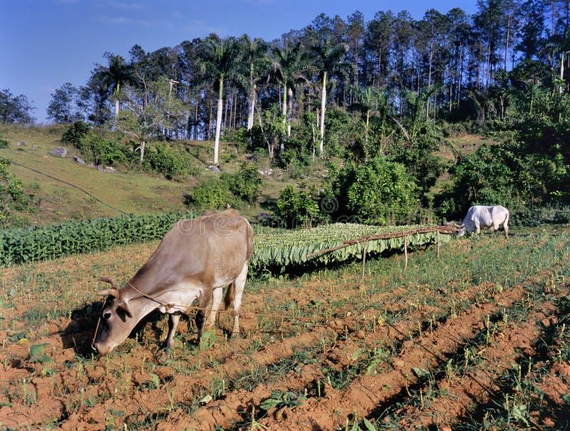 烟草田, Pinar del里约省,古巴 图库摄影
