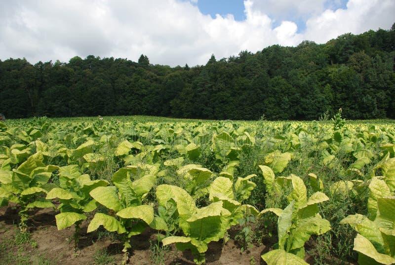 烟草的种植园 免版税库存图片