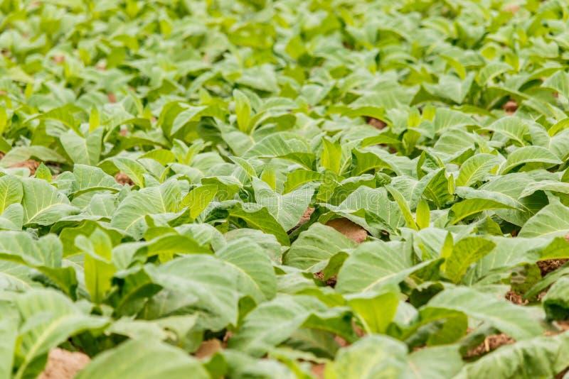 烟草种植园在Bueng可汗泰国 免版税库存图片