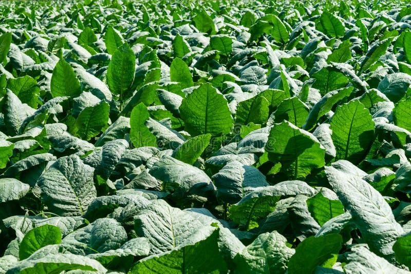 烟草种植园领域 免版税库存照片
