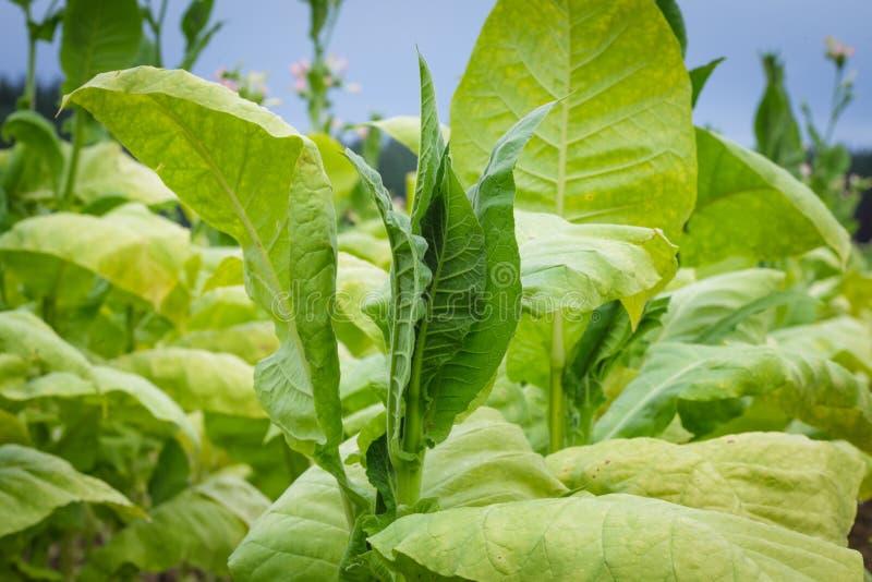 烟草种植园,绿色叶子特写镜头  库存照片