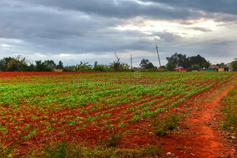烟草种植园- Vinales谷,古巴 库存照片