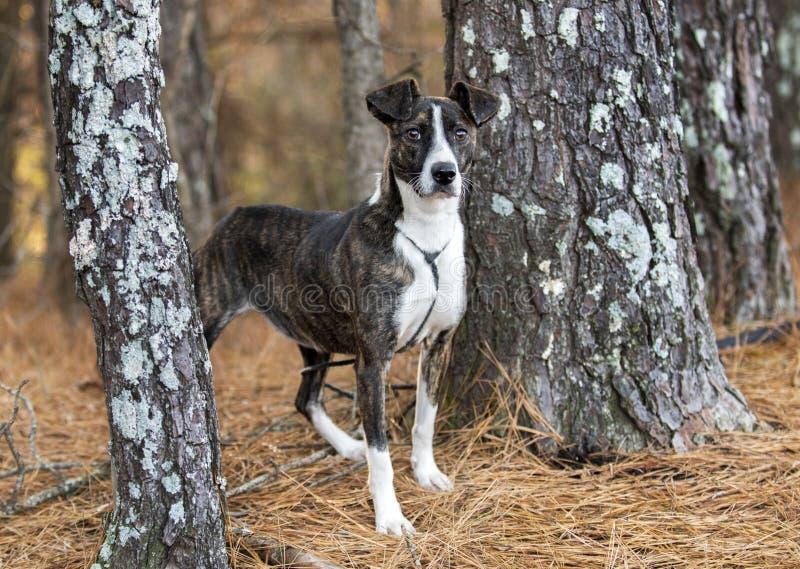 烟草花叶病的Whippet狗混杂的品种狗 免版税库存照片