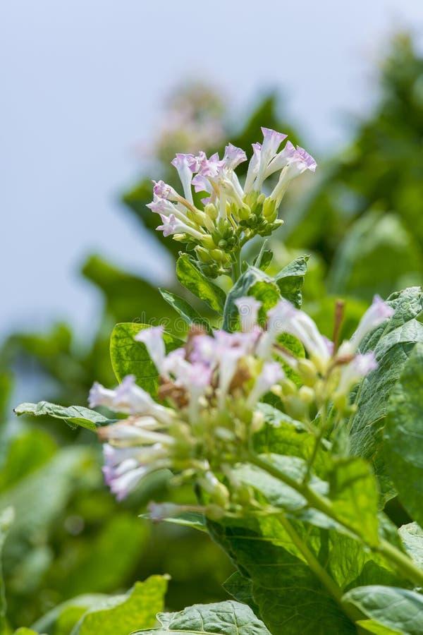 烟草花在达卡, manikganj,孟加拉国外面 库存图片