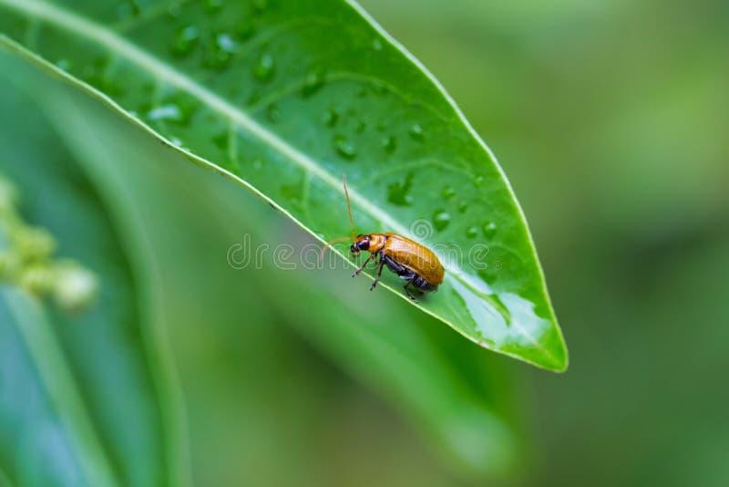 烦扰爬行在绿色叶子在雨以后 免版税库存图片
