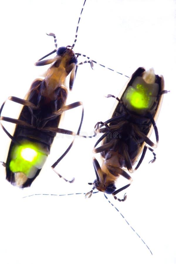 烦扰萤火虫闪动的闪电 库存图片