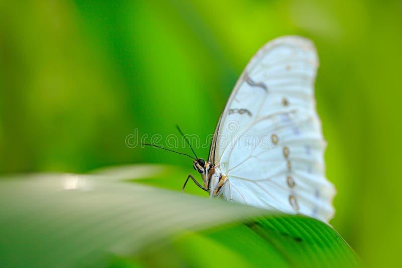 热带丛林绿叶白蝶 墨西哥与中部的花、白蝶 免版税库存图片