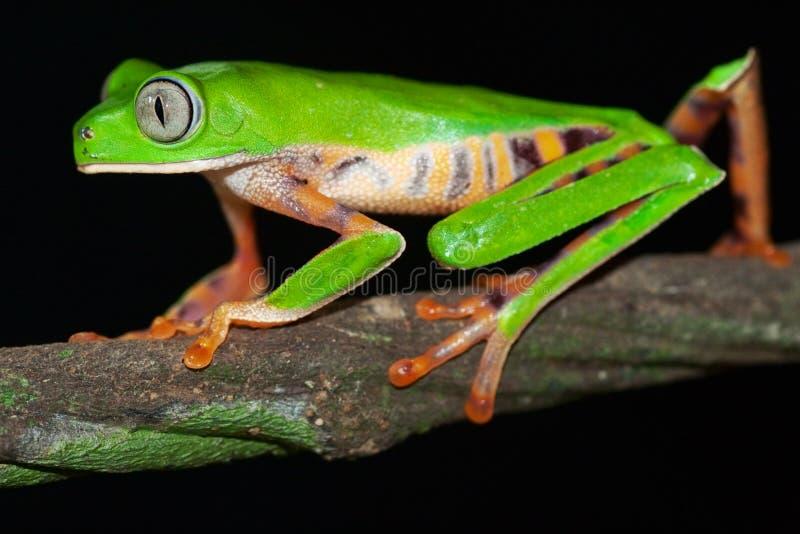 热带两栖大被注视的青蛙绿色密林的&# 免版税库存照片