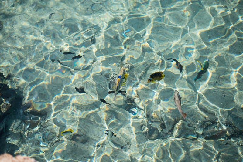 热带五颜六色的鱼在透明的水中在红海 免版税图库摄影