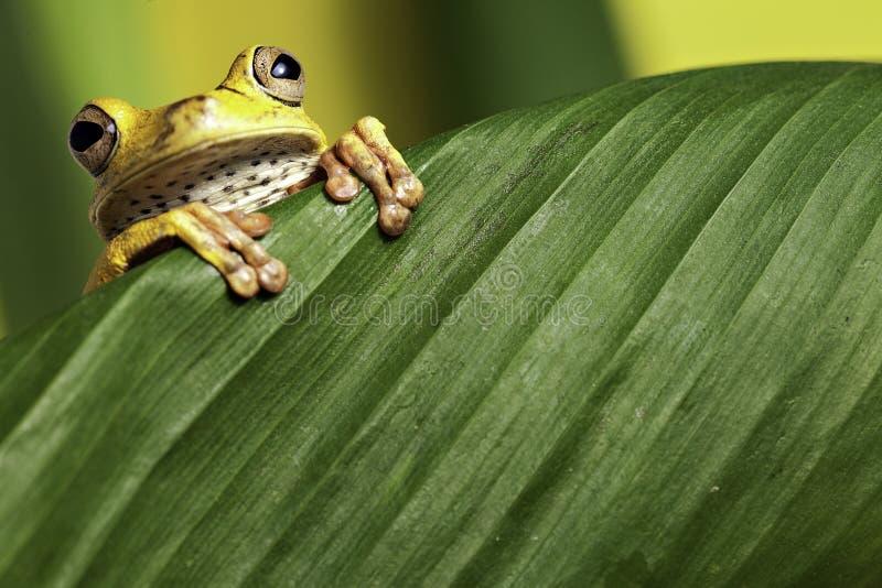 热带亚马逊两栖青蛙密林叶子的结构&# 库存照片