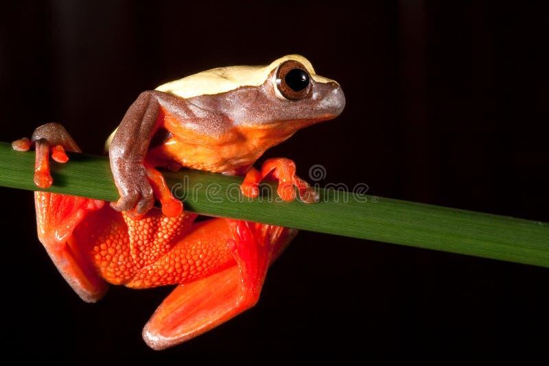 热带亚马逊大眼睛森林青蛙雨红色的结构树 免版税库存照片