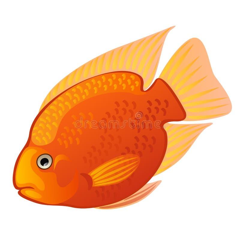 热带动画片鱼在白色背景隔绝的橙色麦得斯丽鱼科鱼或Amphilophus citrinellus 也corel凹道例证向量 向量例证
