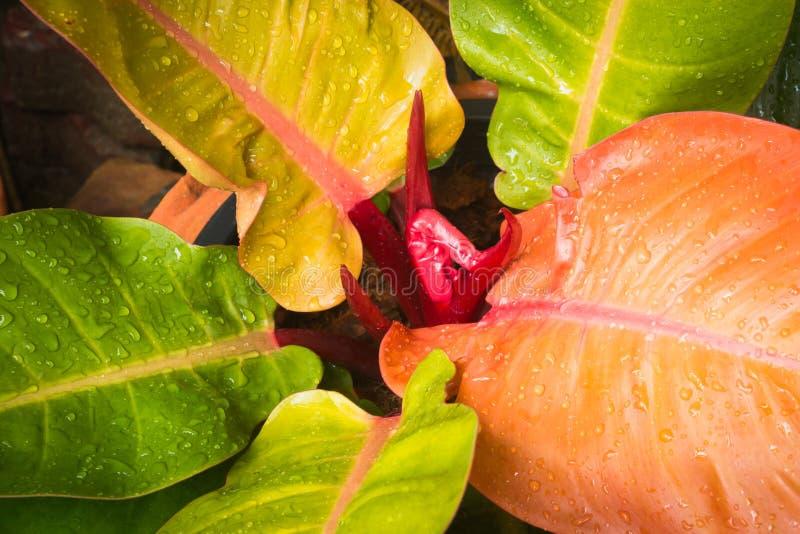 热带叶子和下落水 库存图片