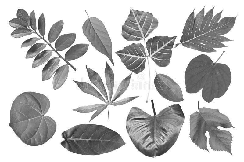 热带叶子的黑白图象 库存图片