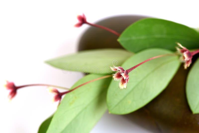 热带叶子花(Phyllanthus pulcher Wallich前Muell Arg ) 库存图片