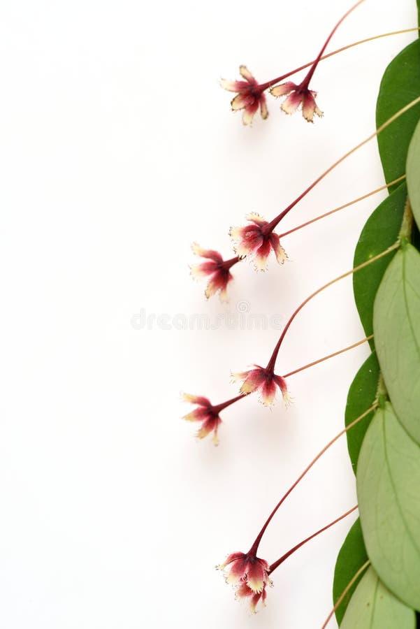 热带叶子花(Phyllanthus pulcher Wallich前Muell Arg ) 免版税库存图片