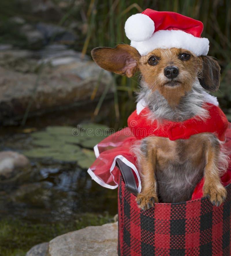 热带在篮子的场面小混杂的品种狗在圣诞老人衣服 库存照片