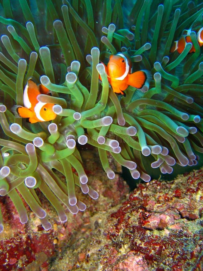 热带小丑的鱼 免版税图库摄影