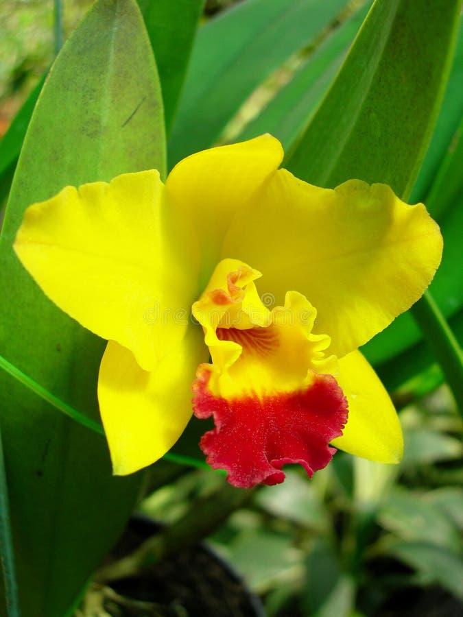 热带巨型兰花Cattleya sp 免版税库存照片