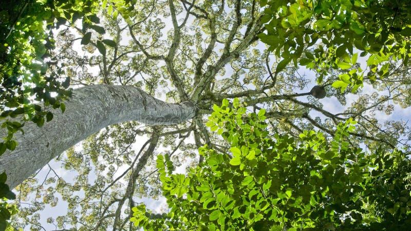 热带巨型的结构树 免版税库存照片