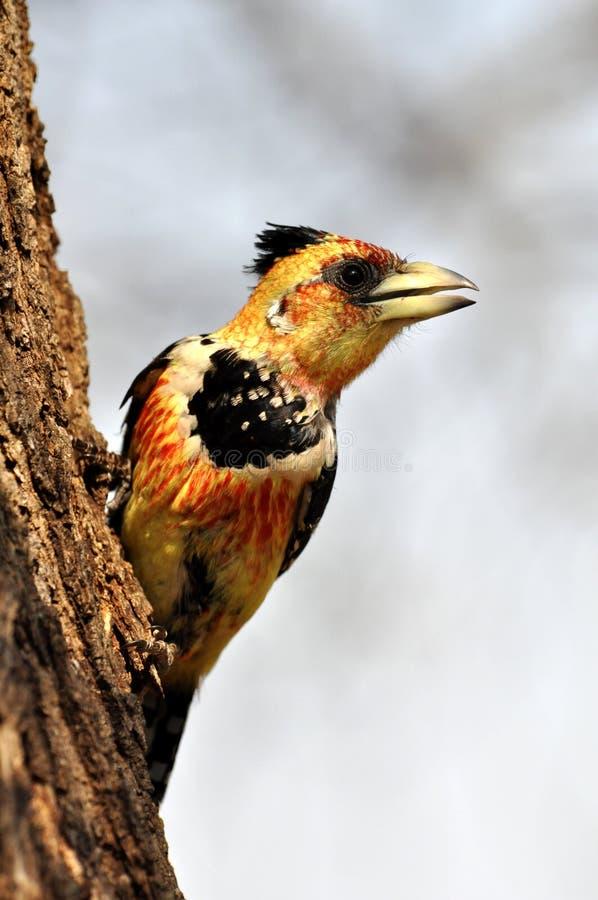 热带巨嘴鸟有顶饰trachyphonus vaillantii 免版税库存图片