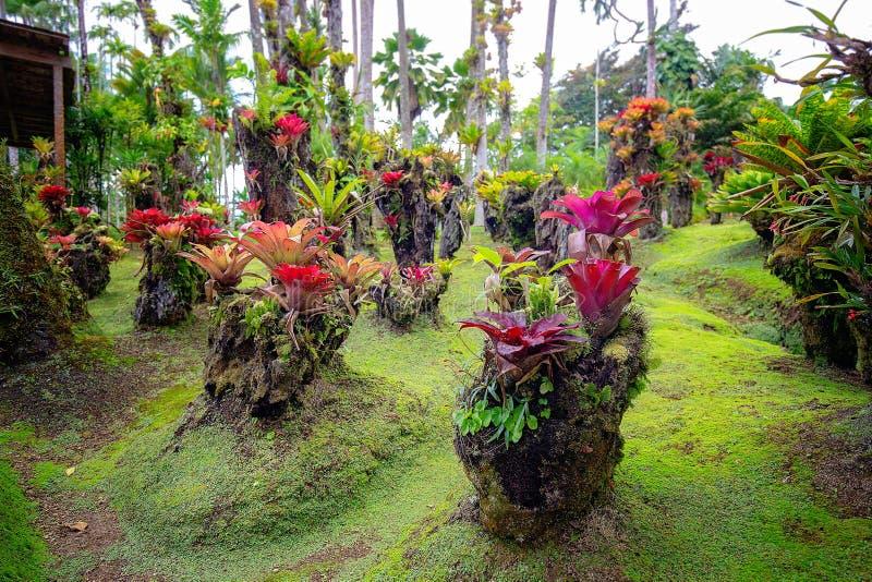 热带巴拉塔树胶庭院在马提尼克岛 库存图片