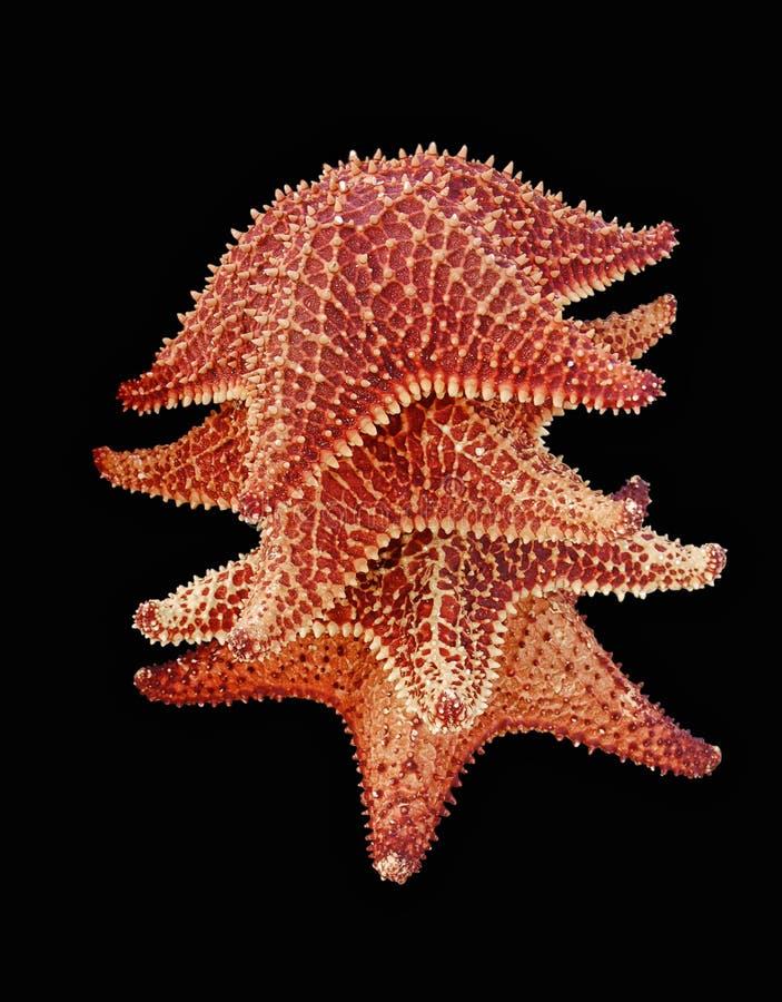 热带截去的查出的海星 库存图片