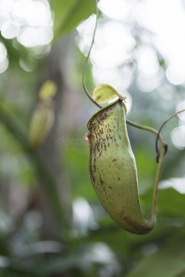 热带捕虫草 库存图片