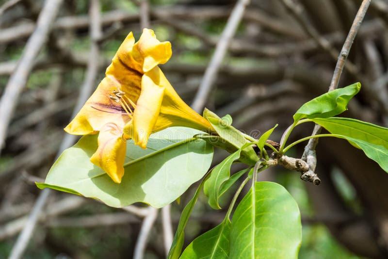 热带攀缘植物最大值花 免版税库存照片