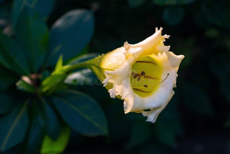 热带攀缘植物最大值金杯夏威夷百合开放了芽黄色热带藤花特写镜头 库存图片