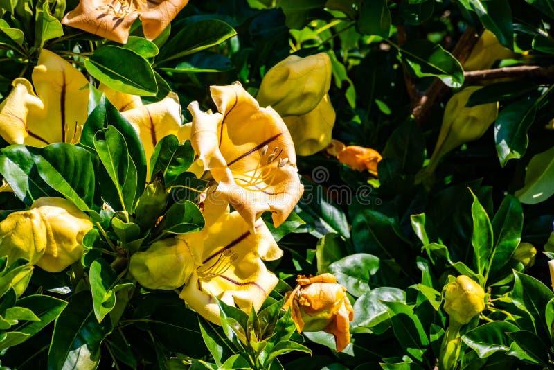 热带攀缘植物最大值,亦称金杯藤、金黄酒杯藤或者夏威夷百合,巴波亚公园,圣迭戈,加利福尼亚 免版税库存照片