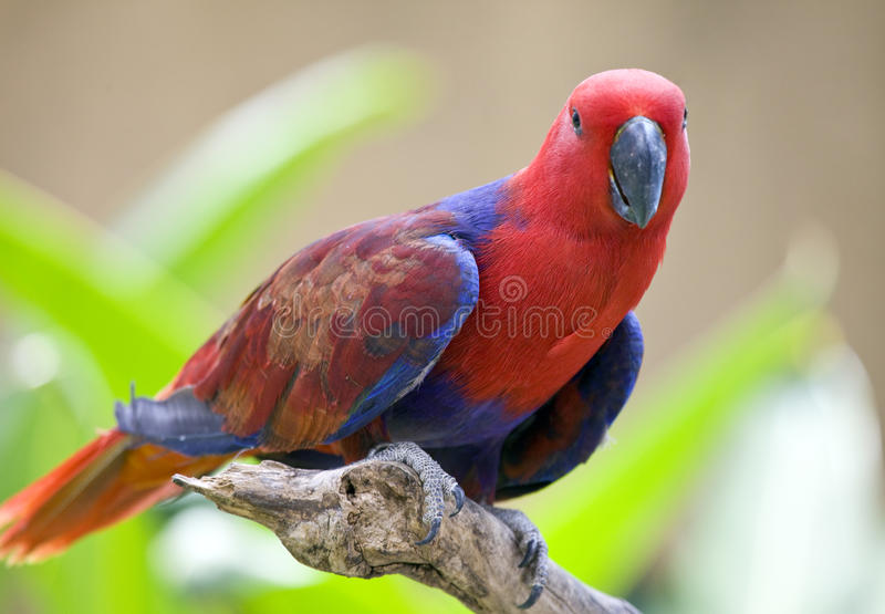 热带明亮的大的鹦鹉 免版税库存照片