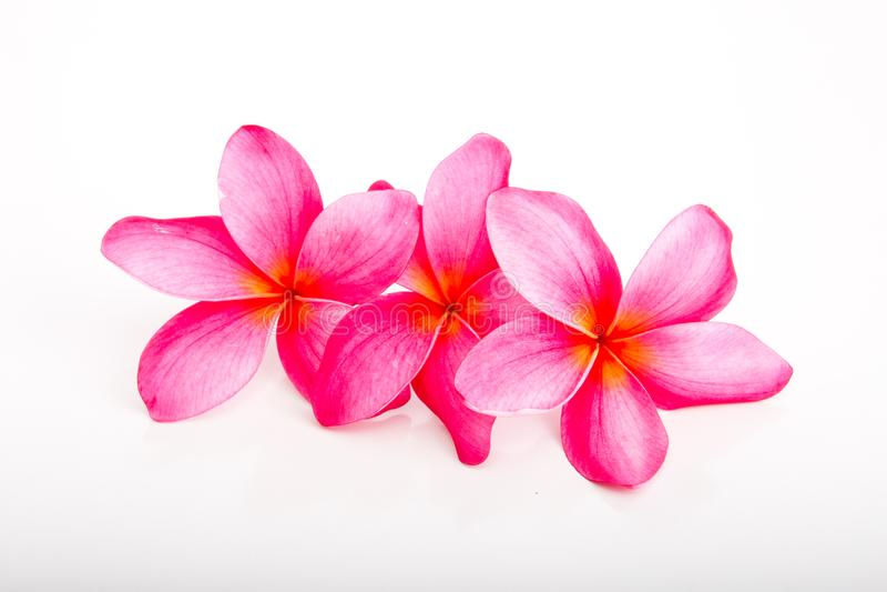 热带明亮的桃红色赤素馨花花 库存照片