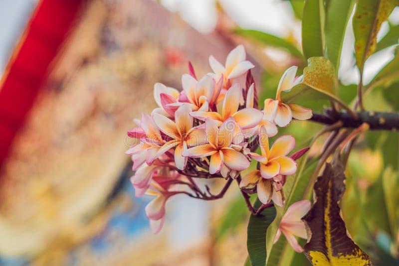 热带桃红色分支开花在深绿叶子背景的赤素馨花羽毛 免版税图库摄影