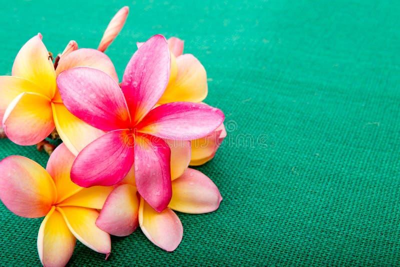 热带桃红色和黄色赤素馨花在绿色背景开花 库存图片