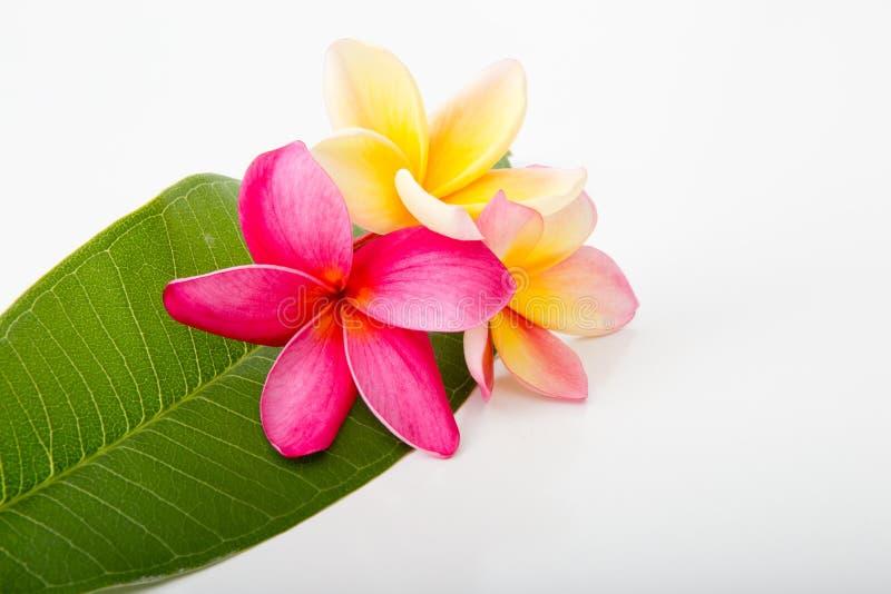 热带桃红色和黄色赤素馨花在赤素馨花叶子开花 免版税库存图片