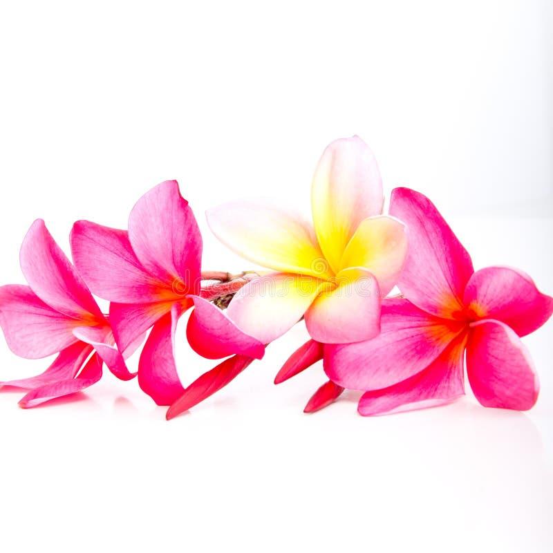 热带桃红色和黄色赤素馨花花 库存照片