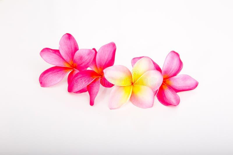 热带桃红色和黄色赤素馨花花 免版税图库摄影