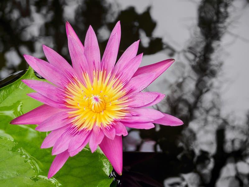 热带桃红色荷花和水在池塘起波纹 库存图片