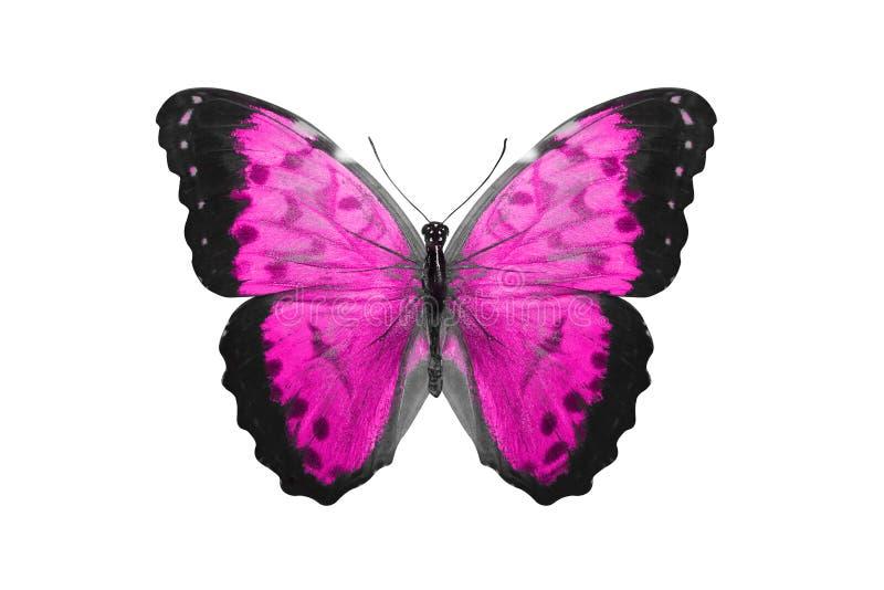 热带桃红色蝴蝶 查出在白色 向量例证