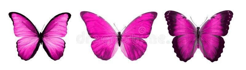 热带桃红色蝴蝶 查出在白色 库存例证