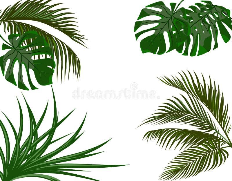 热带棕榈树绿色叶子 monstera,龙舌兰 背景查出的白色图片