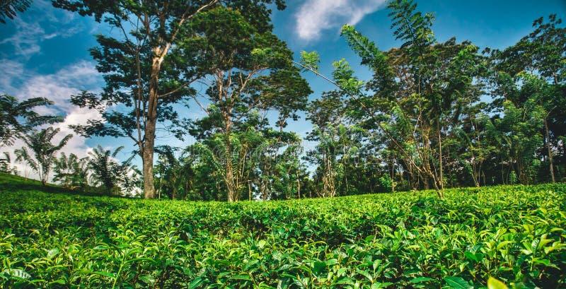 热带森林包围的茶园 图库摄影