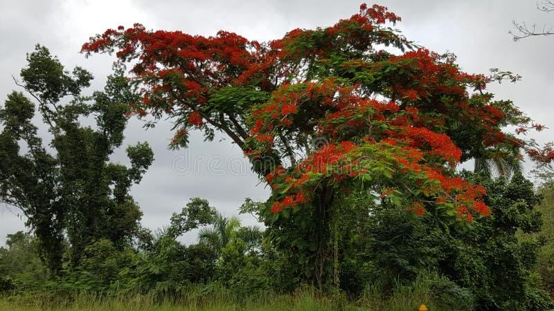 热带森林在圣・萨巴斯蒂安,波多黎各 库存照片