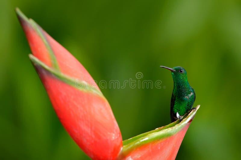 从热带森林,哥斯达黎加的蜂鸟 与鸟和花的美好的场面在狂放的自然 蜂鸟坐美丽 免版税库存图片