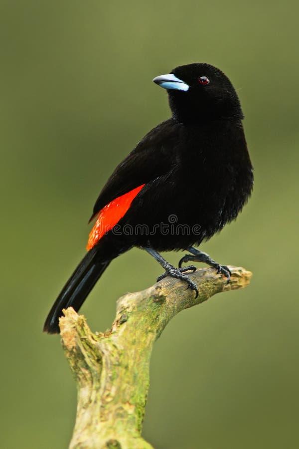 从热带森林黑和红色歌曲鸟的唐纳雀 猩红色rumped唐纳雀, Ramphocelus passerinii,异乎寻常的热带红色和黑s 免版税库存照片