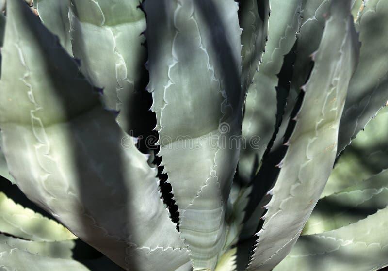 热带植物的龙舌兰关闭 r 免版税库存图片