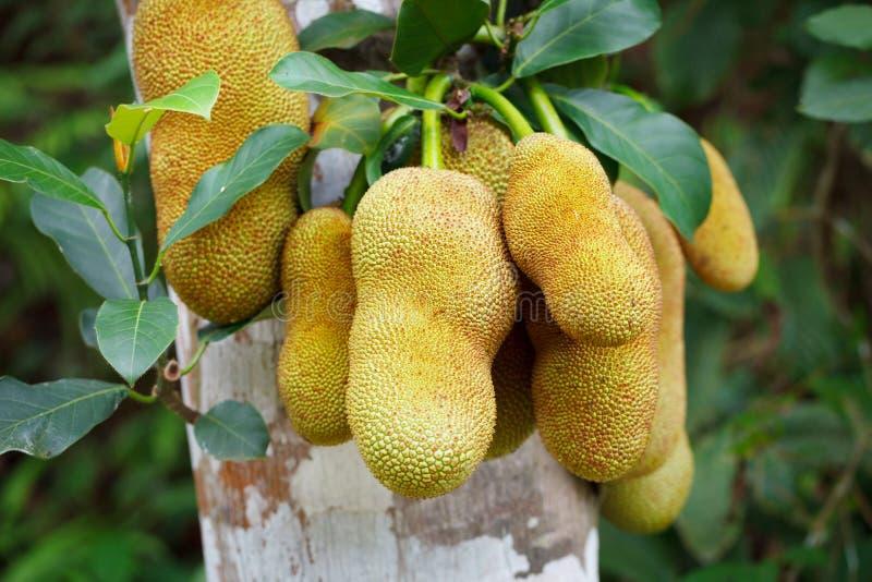 热带植物-波罗蜜树在森林里 免版税库存照片