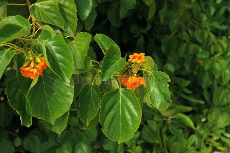 热带橙色花在海岛 库存照片